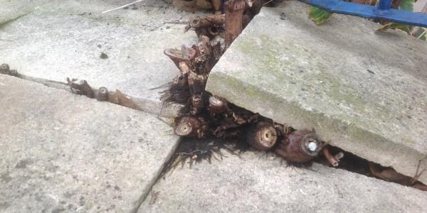 Getting rid of Japanese knotweed